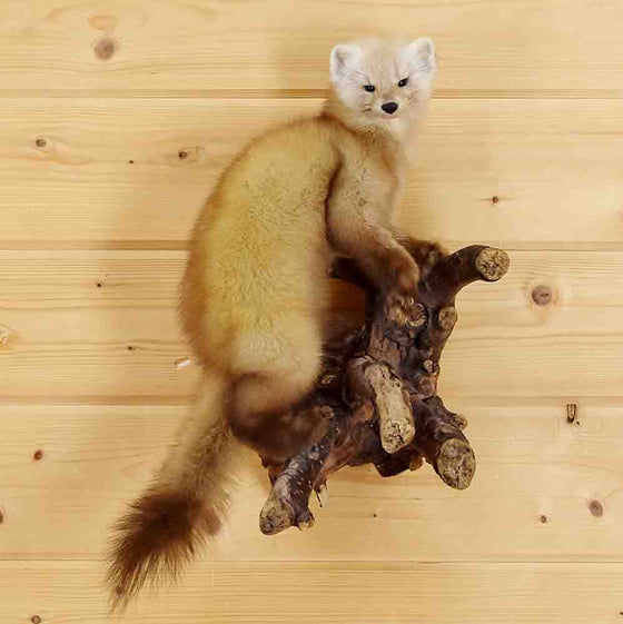 Pine Marten Taxidermy Mount