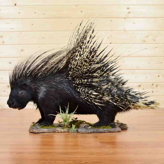 Porcupine Taxidermy Mount - African Crested