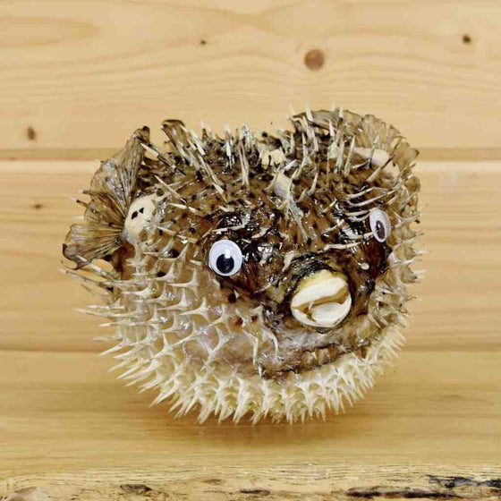 Porcupine fish Taxidermy Mount