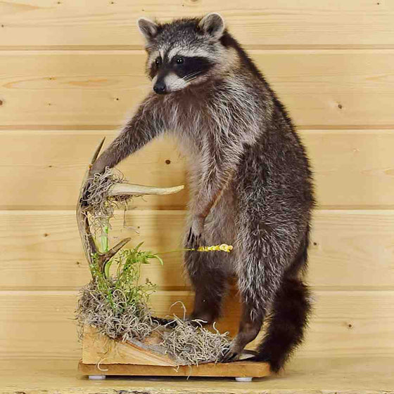 Racoon Taxidermy Mounts for Sale