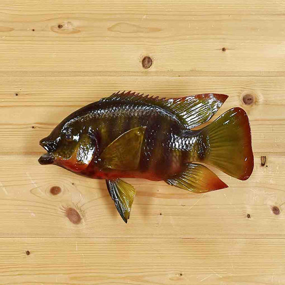 Red Breast Tilapia Mount