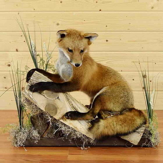 Fox Taxidermy for Sale
