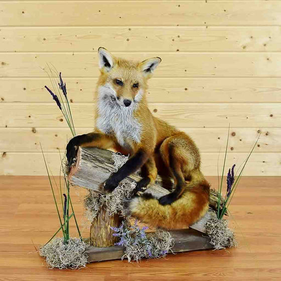Red Fox Taxidermy Mount for Sale - SW5794