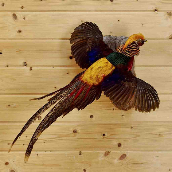 Red Golden Pheasant Taxidermy for Sale