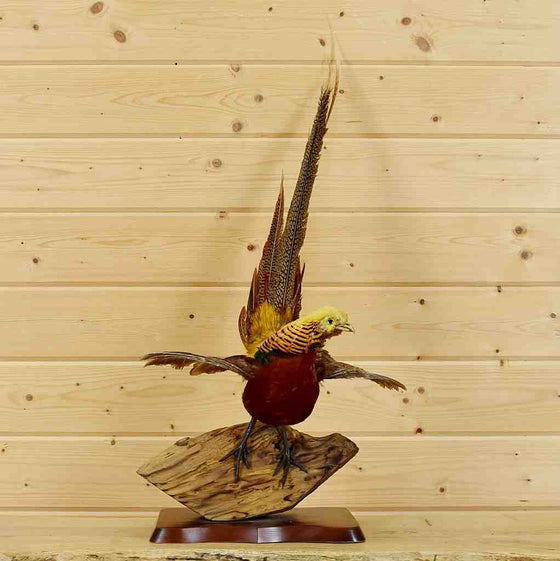 Red Golden Pheasant Taxidermy