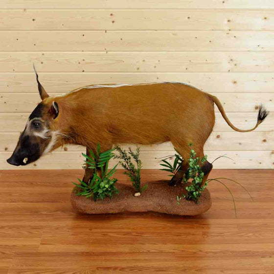 Red River Hog Taxidermy for Sale