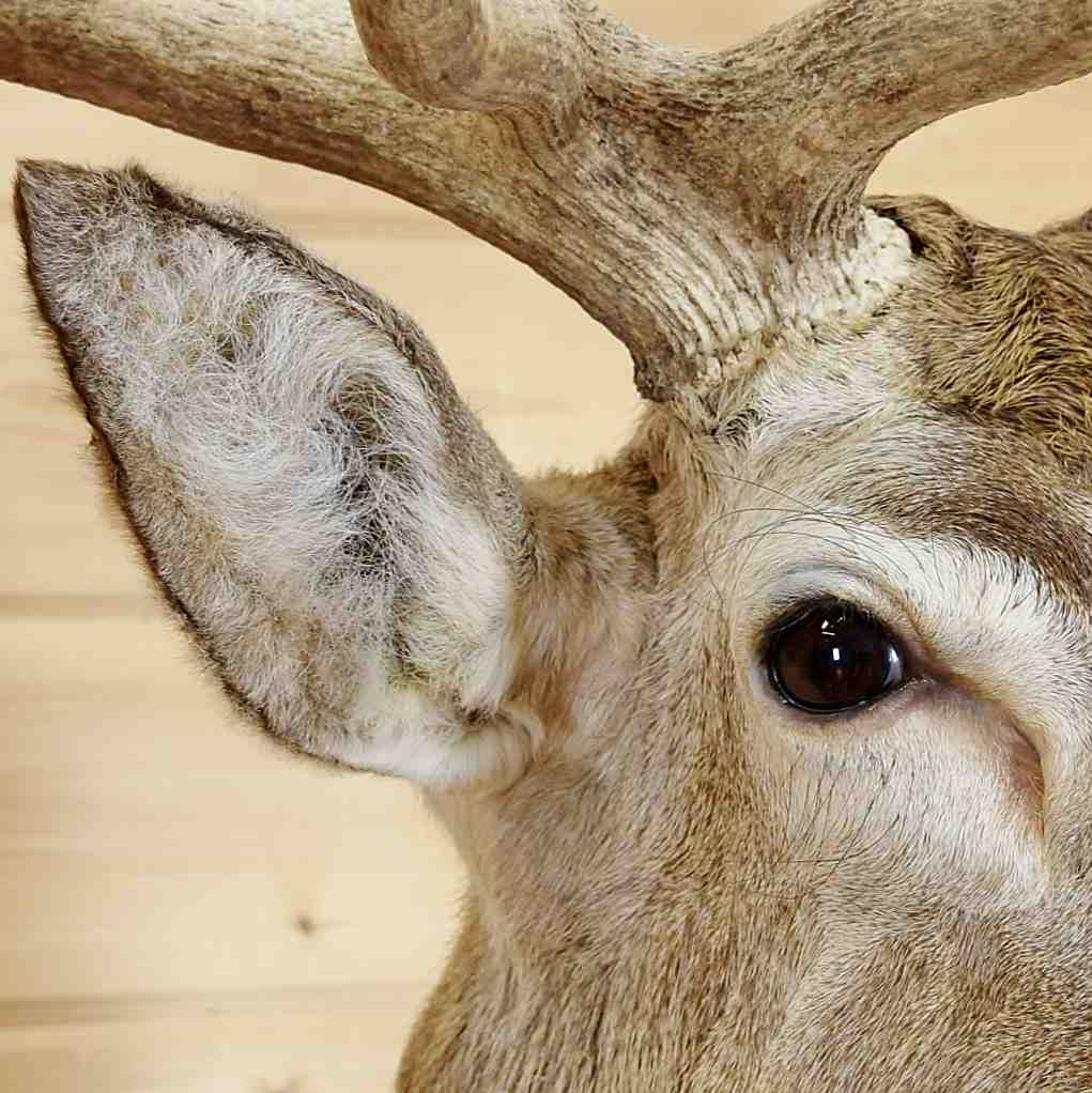 Red Stag Taxidermy Mount for Sale - SW5220
