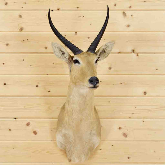 Reedbuck Taxidermy Mount for Sale