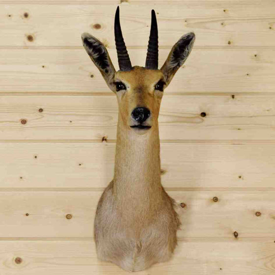 Reedbuck Taxidermy Mount