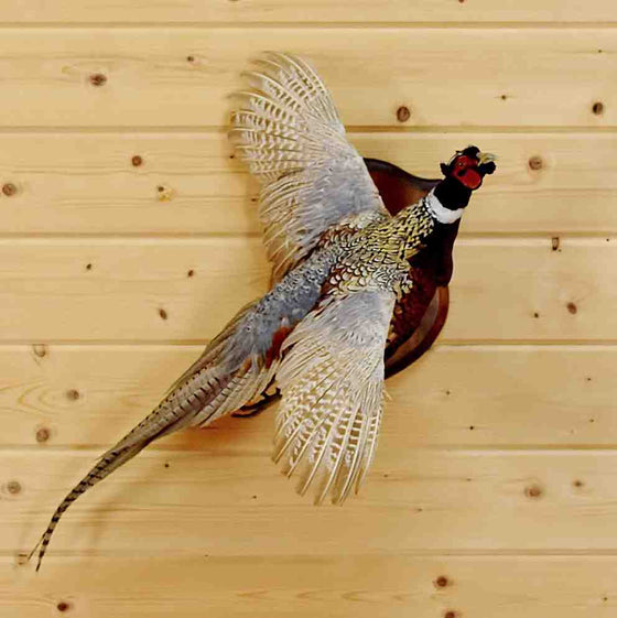 Pheasant Taxidermy Mount for Sale