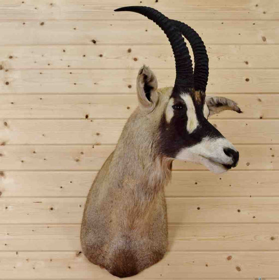 Roan Taxidermy Mount