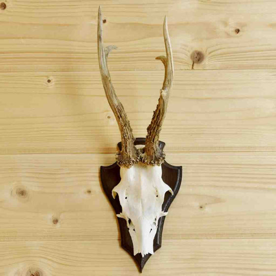Roe Deer Antler European Mount for Sale