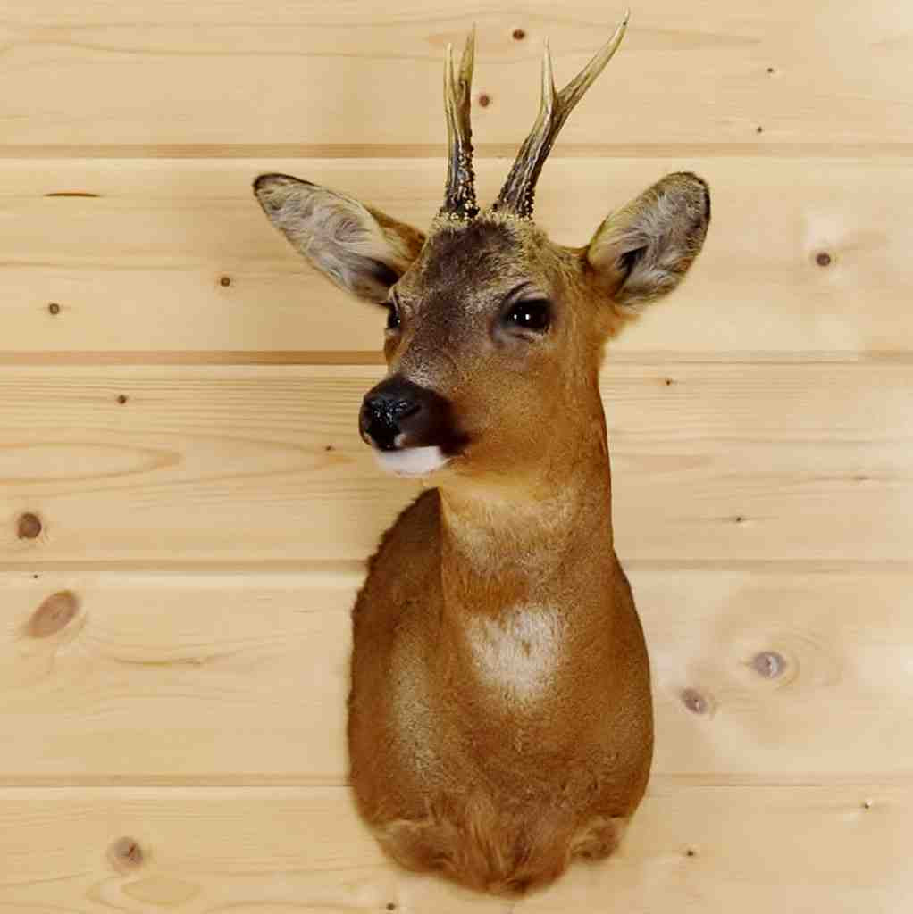Roe Deer Taxidermy Mount #SW5126 for sale - Safariworks Taxidermy Sales