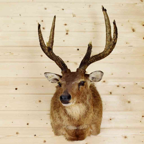 Moluccan Rusa Deer Taxidermy Mount for Sale