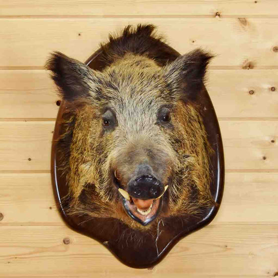 Wild Russian Boar Head