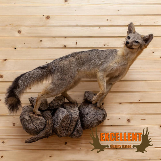 Gray Fox Taxidermy Mount - SW10003