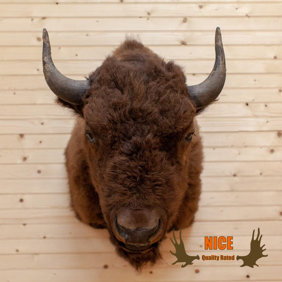 American Bison - Buffalo Taxidermy  Mount - SW10007