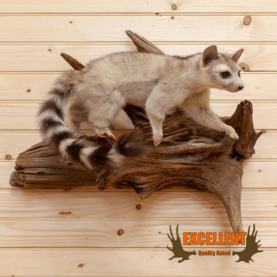 Ring-tailed Cat Taxidermy Mount - SW10011