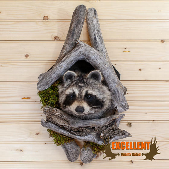 Peeking Raccoon Taxidermy Wall Mount - SW10018