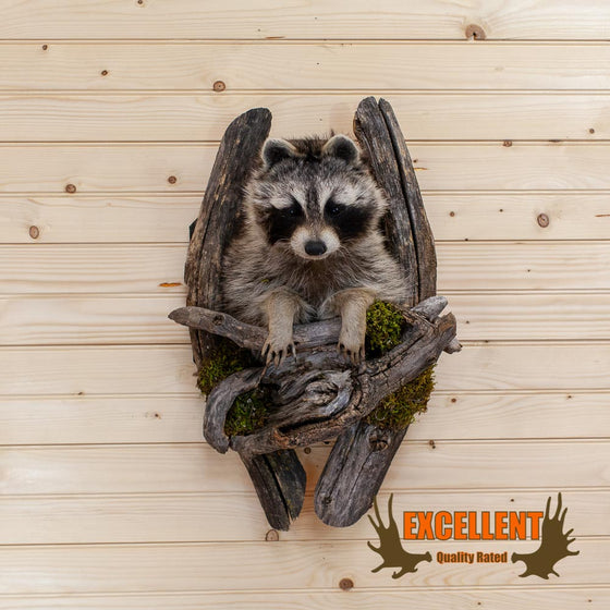 Raccoon Taxidermy Wall Mount - SW10019