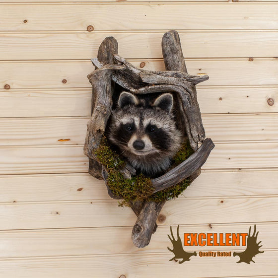 Peeking Raccoon Taxidermy Wall Mount - SW10020
