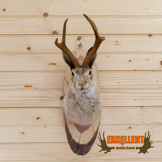 Jackalope Taxidermy Mount - SW10021