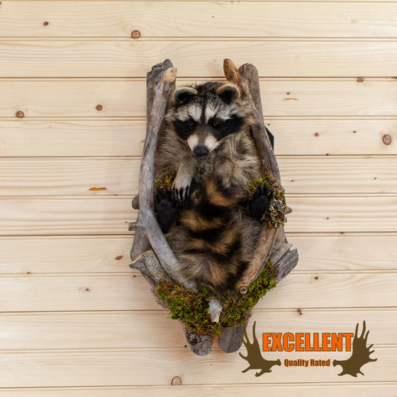 "Raccoon ""Peeking"" Taxidermy Mount - SW10024"
