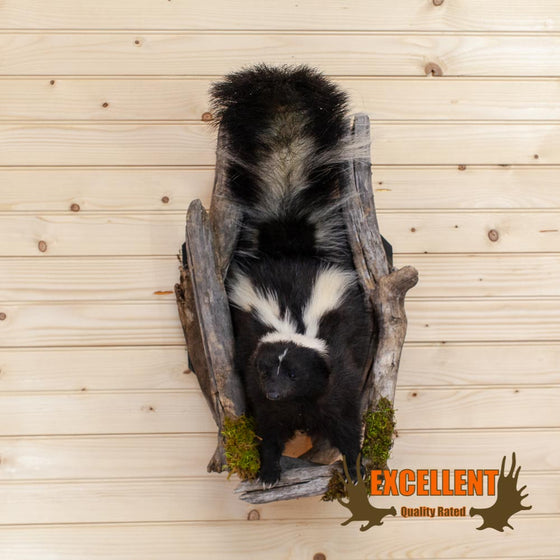 "Single Skunk ""Peeking"" Taxidermy Wall Mount - SW10025"