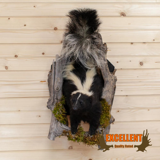 "Single Skunk ""Peeking"" Taxidermy Wall Mount - SW10026"