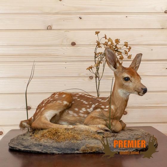 Whitetail Fawn Full Body Mount Taxidermy - SW10027