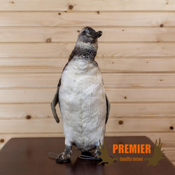 Magellanic Penguin Bird Taxidermy Mount - SW10154