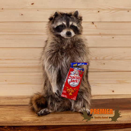 novelty full body lifesize raccoon taxidermy mount cracker jacks