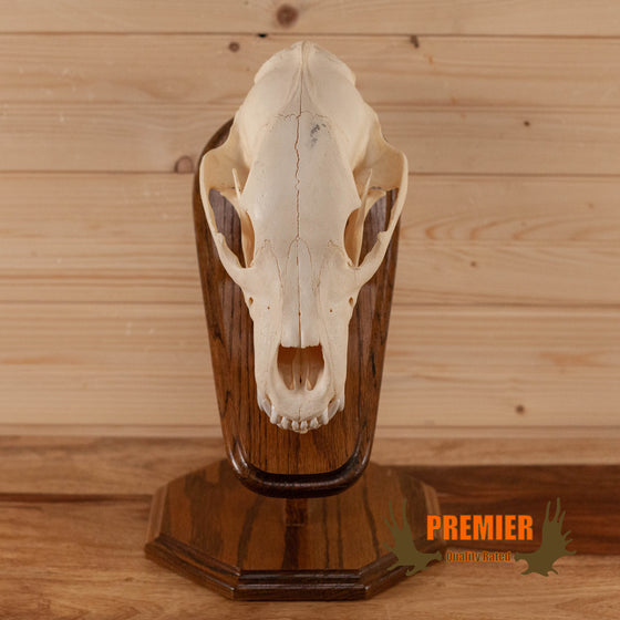 black bear skull on oak pedestal for sale