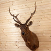 Excellent Sambar Rusa Deer Taxidermy Shoulder Mount SW10305