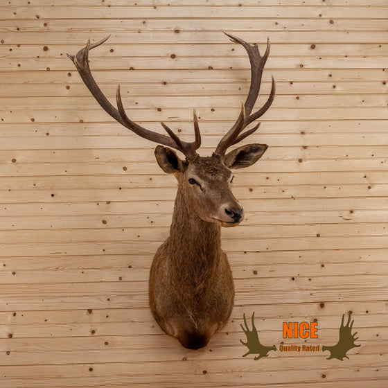 red stag taxidermy shoulder mount for sale