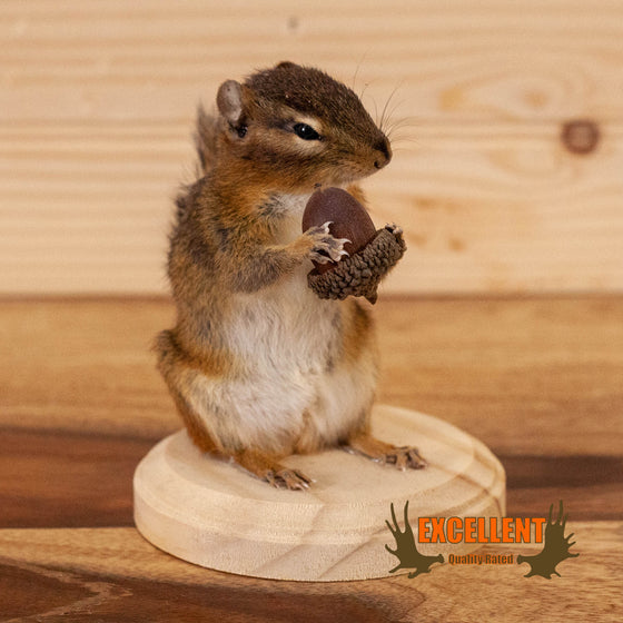 chipmunk with acorn full body taxidermy mount for sale