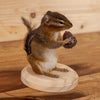 Chipmunk Holding an Acorn Full Body Taxidermy Mount SW10396