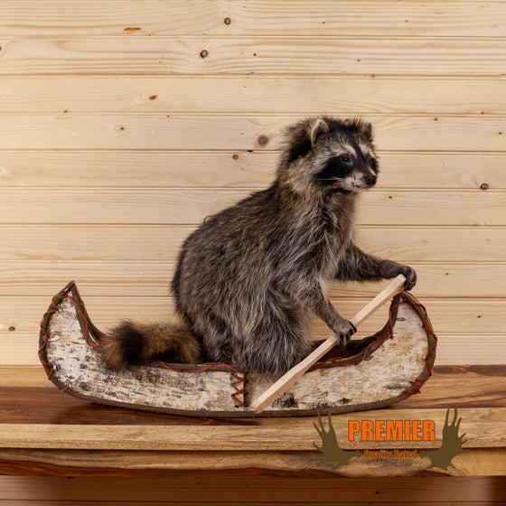 novelty raccoon full body taxidermy mount paddling canoe for sale