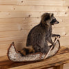 Raccoon Paddling Birch Bark Canoe SW10486