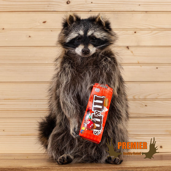 candy peanut butter M&M raccoon taxidermy mount for sale