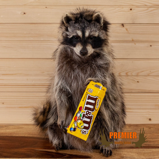 novelty raccoon full body taxidermy mount eating peanut M&Ms for sale