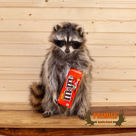 peanut m&m candy coon raccoon taxidermy novelty mount for sale