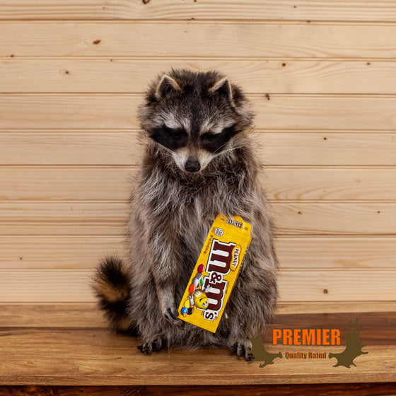 novelty candy coon raccoon taxidermy mount for sale