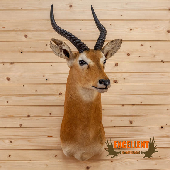 african puku taxidermy shoulder mount for sale