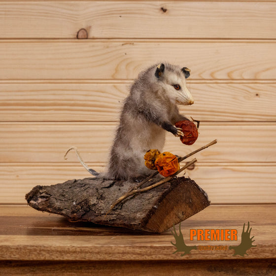 baby opossum eating habanero peppers full body taxidermy mount for sale