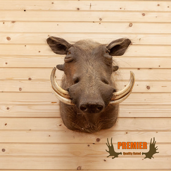 african warthog taxidermy shoulder mount for sale