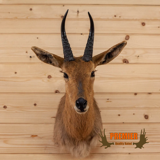 african mountain reedbuck taxidermy shoulder mount for sale