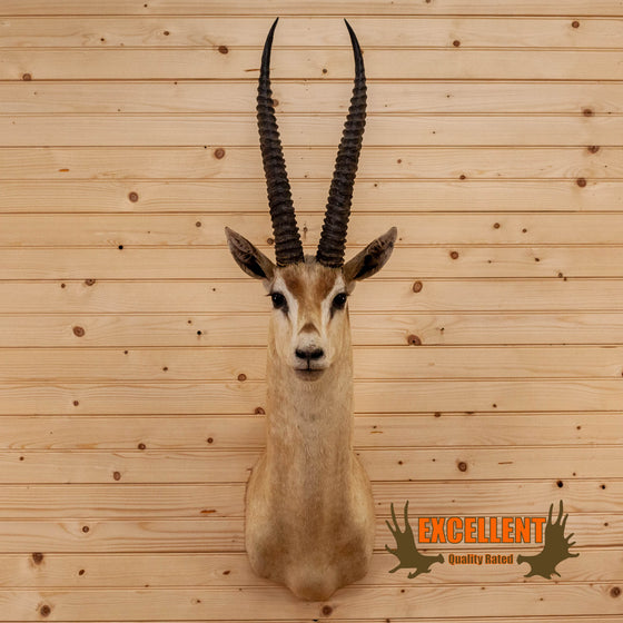 african grant's gazelle taxidermy shoulder mount for sale
