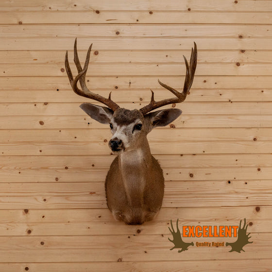 columbian blacktail taxidermy shoulder mount for sale