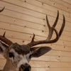 Excellent 5X5 Columbia Blacktail Buck Deer Taxidermy Shoulder Mount SW10514